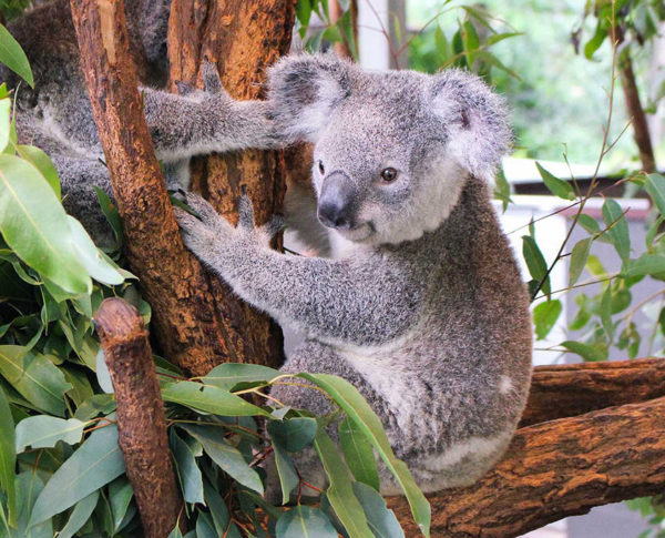lone-pine-koala-sanctuary-brisbane