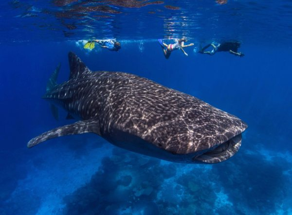 Whaleshark, Smith Point, Christmas Island