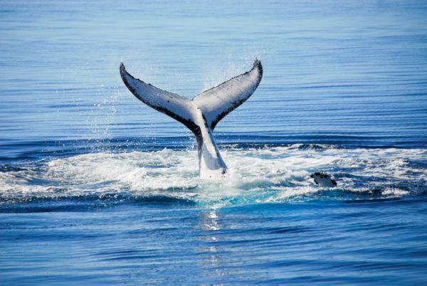 Humpback Whale in Hervey bay, Queensland (Australia)