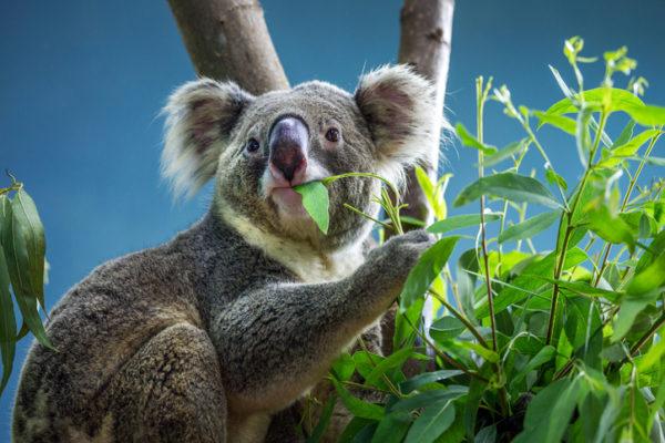 Koala is eating eucalyptus leaves.