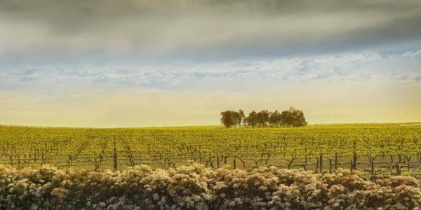 murray-street-vineyard-barossa-valley-south-australia_t20_Oo0JK2