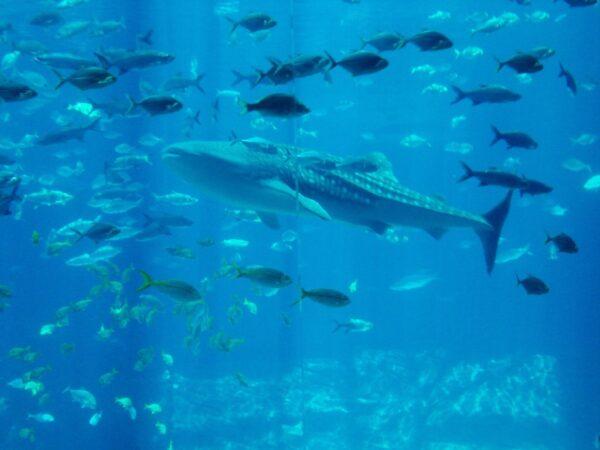 whale-shark_t20_WKlb9K